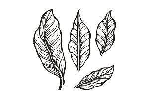 Coffee Tree Leaves Sketch Vector Illustration