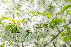 Cherry blossoming. Spring flowers