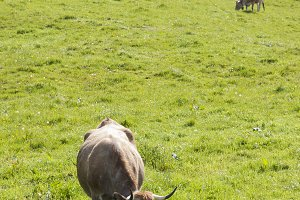 Cows in field in Asturias,