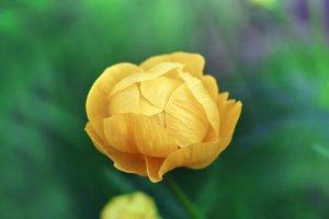 Trollius yellow flower