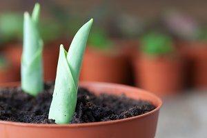 Growing spring tulips in flowerpot.