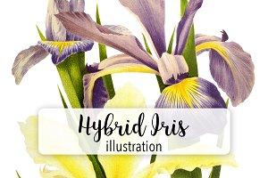 Florals: Vintage Hybrid Iris