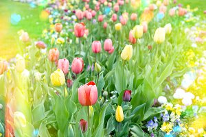 Colorful tulips on flowerbed