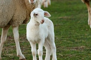 Cute lamb with its mother