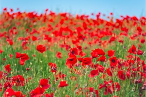 Remembrance day, Anzac Day, serenity. Opium poppy, botanical plant, ecology. Poppy flower field, harvesting. Summer and spring, landscape, poppy seed. Drug and love intoxication, opium, medicinal