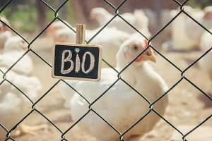 Bio chickens on a home farm.