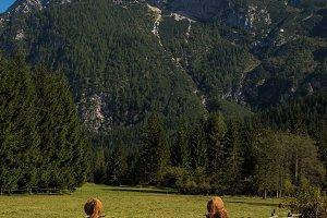 Cows grazing in te green fields