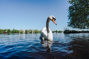 White Swan swimming on Alster lake in Hamburg on a sunny day