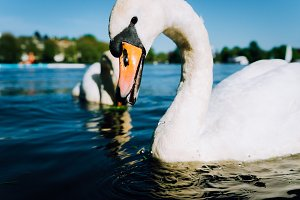 Close up of cute white grace swan with open beak on the Alster lake on a sunny day in Hamburg