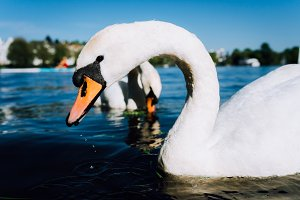 Close up of cute white grace swan head on the Alster lake on a sunny day in Hamburg