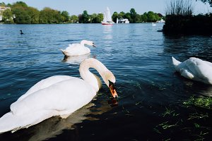 Group of beautiful cute white grace swans on the Alster lake on a sunny day. White pleasure sail boat in background. Hamburg, Germany