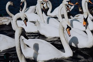 Group of beautiful white swans swimming on Alster river canal near city hall in Hamburg