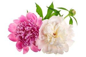 peony flower isolated on white background close up