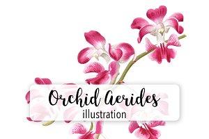 Flowers: Vintage Orchid Aerides