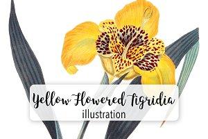 Flowers: Vintage Yellow Tigridia