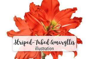 Floral: Striped Tubed Amaryllis