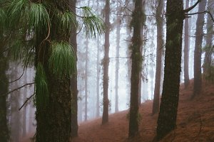 Mysterious foggy pine forest. Rainy and misty weather near Cova crater on Santo Antao Island, Cape Verde