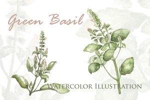 Green Basil Botanical Illustration