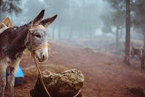 Donkey standing sideways near the pine forest on early misty morning ready to work