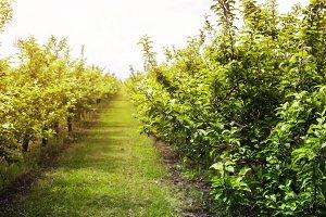 Apple garden in the spring