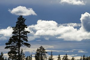 silhouettes of pine trees and puffy clouds