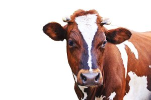 cow with beautiful eyes isolated on white background