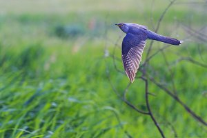 Cuckoo flies on a green field