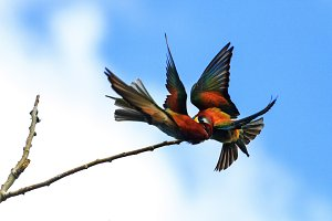 fight of colored birds on the branch