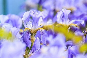 blue irises on a spring day