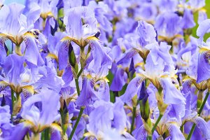 texture of blue flowers of irises