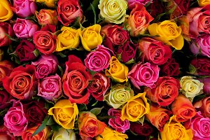 Colorful roses background