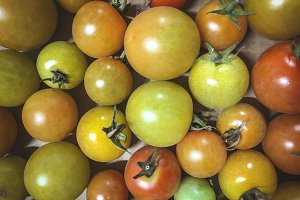 different colours fresh tomatoes