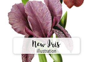 Flowers: Vintage New Iris