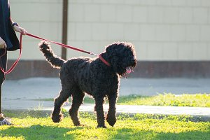 Black Russian Terrier on a leash in the city Park