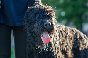 Muzzle of a big black dog with tongue, Sunny summer day