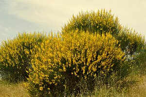 broom bushes with yellow flowers