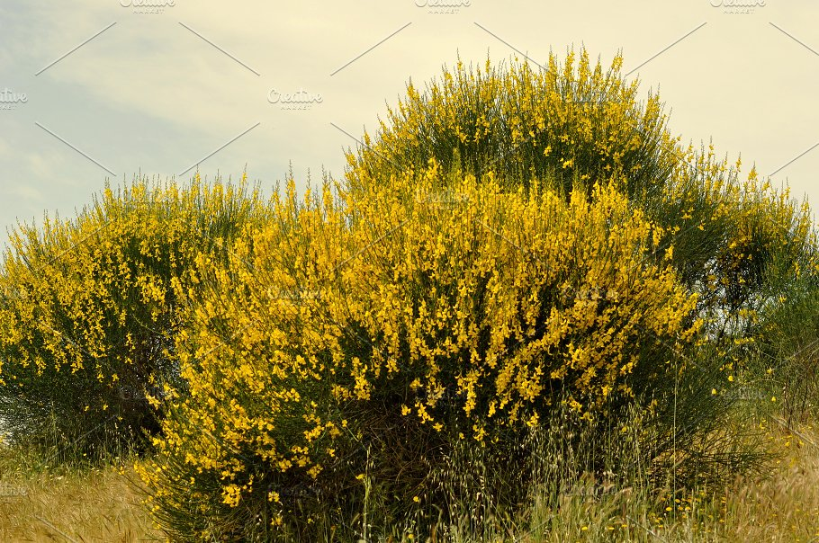 Broom bushes with yellow flowers nature photos creative market broom bushes with yellow flowers mightylinksfo