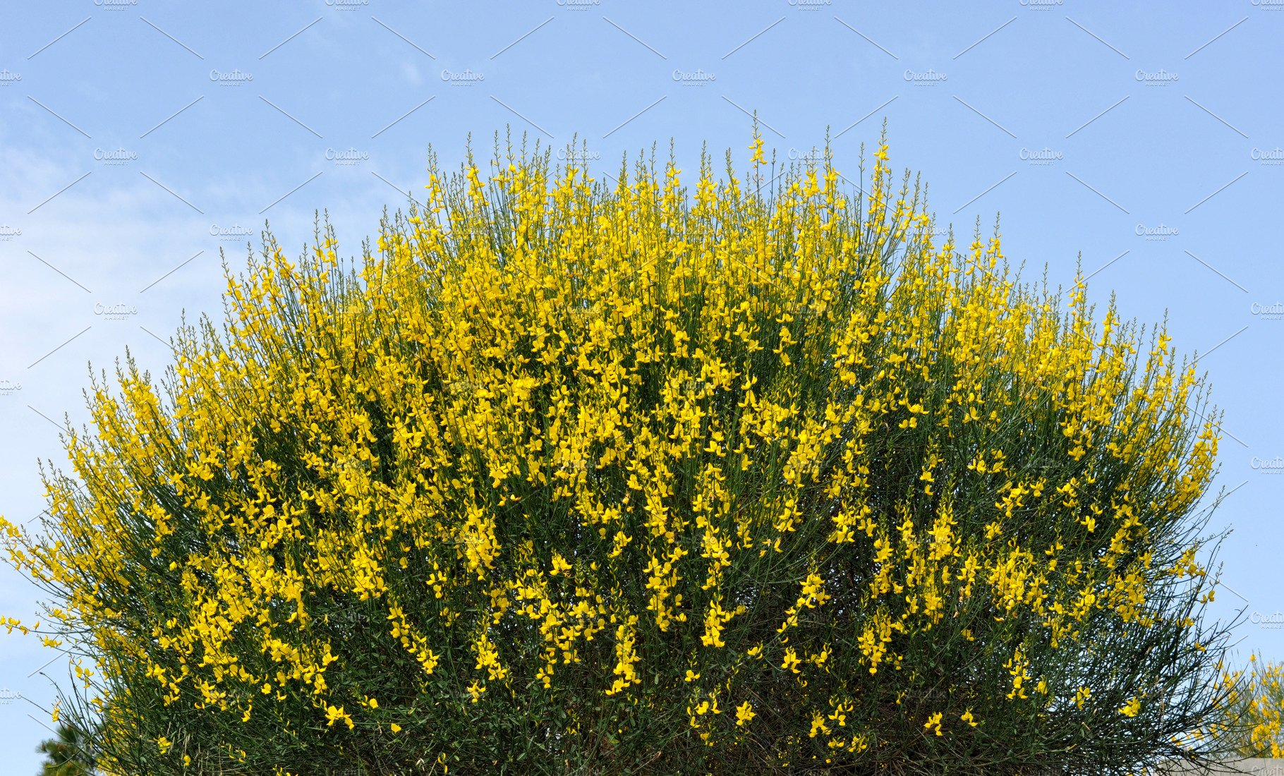 Broom Bushes With Yellow Flowers Nature Photos Creative Market