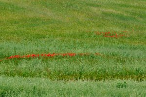 Wheat field with lines of poppies
