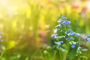 Forget-me-nots on a sunny background. Delicate floral background. Copy space.