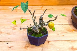 Bonsai tree  - apple.