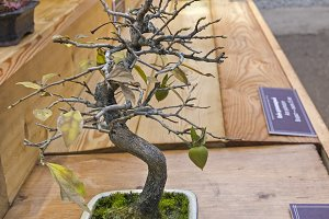 Bonsai tree  - persimmon.