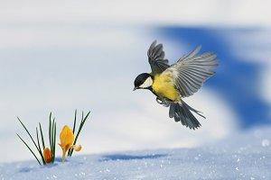 птица порхает над подснежником