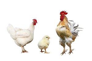 курица, петух и цыпленок