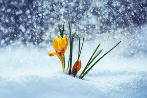 желтые цветы подснежника