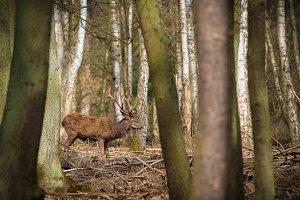 Deer between woods...