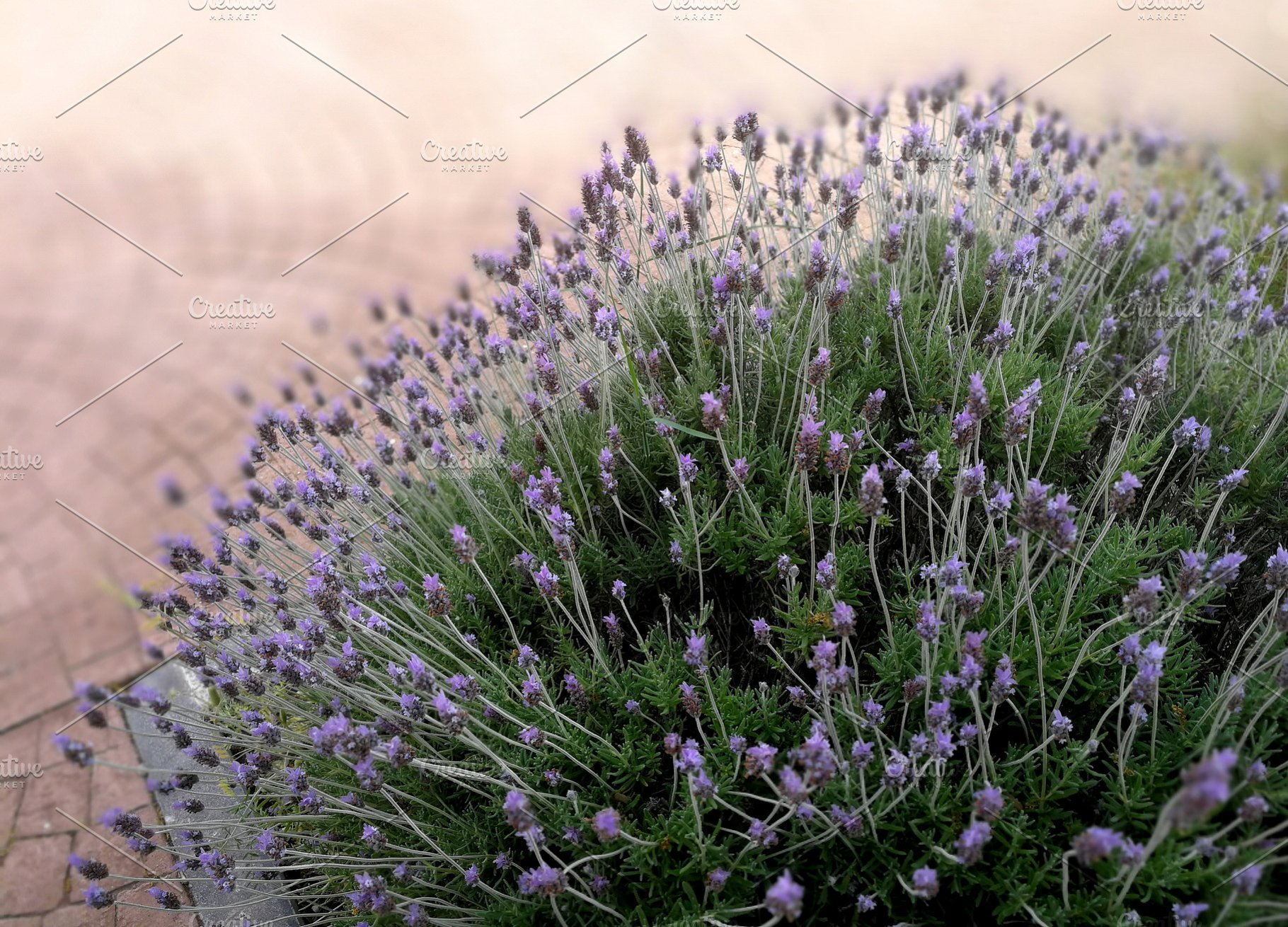 Lavender Bush In A Public Park High Quality Nature Stock Photos