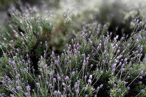 Wild lavender bushes