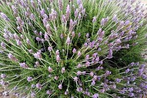 Lavender bush in a spring day
