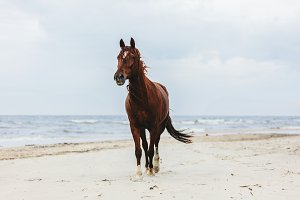Lonely bay horse trotting on the beach by the sea.